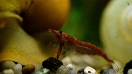 algas : Red shrimp in the aquarium eat bloodworms macro among shells and algae
