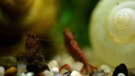 törpe : Red shrimp in the aquarium eat bloodworms macro among shells and algae