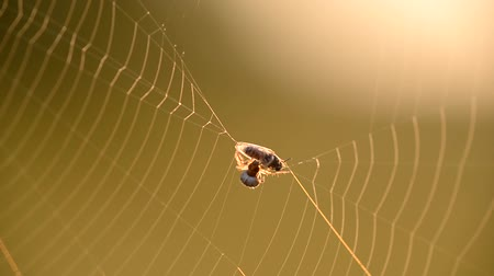 capturados : A spider weaves its prey into a cocoon, on a spiders web on a summer morning a fly got caught in the web