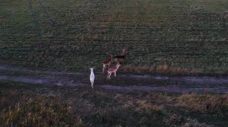 temas animais : Aerial view: deer eating grass in the field. Beautiful deer in an autumn evening at sunset in the wild