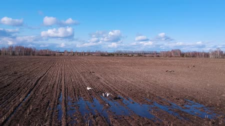 fly away : Aerial view: Cranes in the field near the puddle take off and fly away. Cranes at a puddle in a plowed field in the spring
