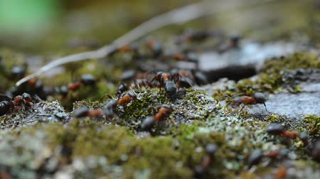 empilhamento : Macro video of ants running through moss and carrying construction materials for an anthill