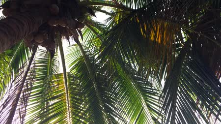 devanear : Bottom view on palm tree with young coconuts. Sunlight passes thru green tropical leaves. HD slowmotion Stock Footage