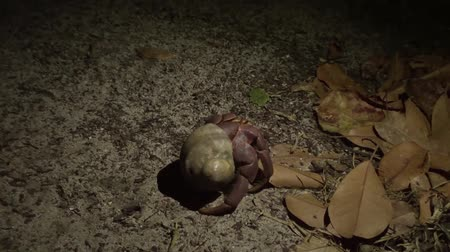 rejtekhely : Hermit Crab Walk in Forest At Night. Similan Island, Thailand. HD Slowmotion.