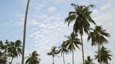 natural tranquil : Coconut Palm Plantation Trees Against the Blue Sky with White Clouds. HD Slowmotion. Thailand.