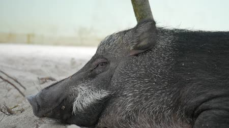 collared : Cute Sleeping Fat Boar Pig on Sand Under Tree. Closeup HD. Stock Footage