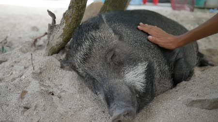 collared : Woman Petting with Hand Cute Sleeping Boar. Closeup HD.