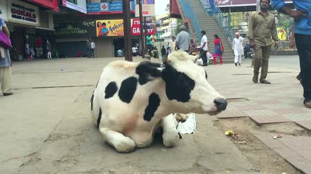 bangalore : Bangalore, India - 30 JAN 2017: Cow Sitting in Middle of Street Stock Footage