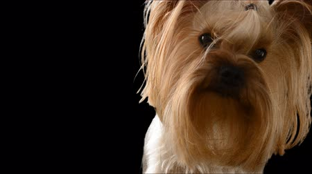 yorkie : Yorkshire terrier. Alpha channel included. Stock Footage