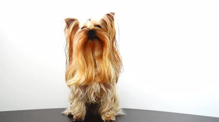 yorkie : Yorkshire terrier on a white background, a dog.