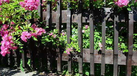 wall building feature : Bush of flowers over a fence
