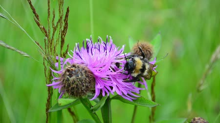 antennae : Bumblebee and flower