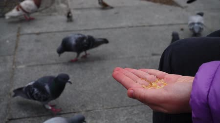holubice : Spain. Birds on the streets of Madrid, pigeons and sparrows. Slow motion. People feed birds from hands.