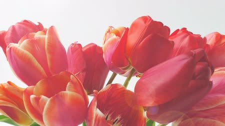 blooming time lapse : Shooting tulips, opening buds. Timelapse. Stock Footage