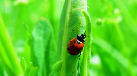 katicabogár : Ladybug on a grass Stock mozgókép