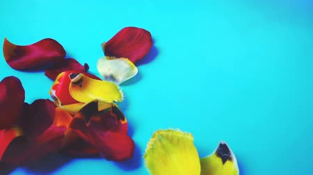 tulipan : The falling petals of tulips. Slow motion.