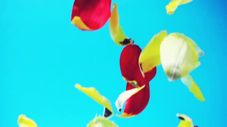 símbolo : The falling petals of tulips. Slow motion.