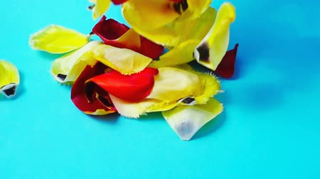 símbolo : The petals of tulips. Slow motion.