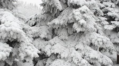 snow covered spruce : The fir-tree in the winter, is a lot of snow