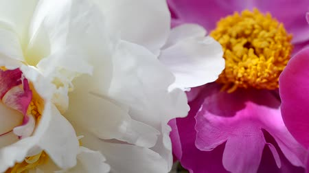 pink background : Spring peonies Stock Footage