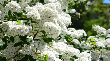 porzó : Spirea alpine spring flower - white flowering shrub