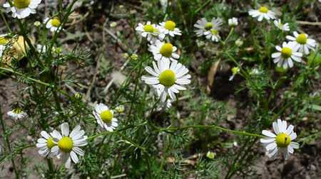 rumianek : Camomile in the spring. Pharmaceutical camomile Wideo