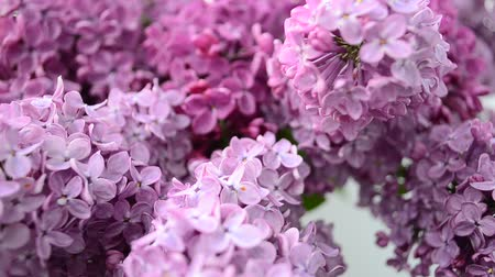 perfumy : Spring lilac, bouquet in a vase