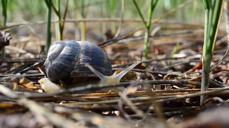 slithering : snail in the garden on the grass