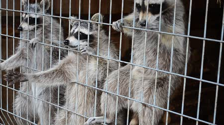 darling : Raccoons in a zoo Stock Footage
