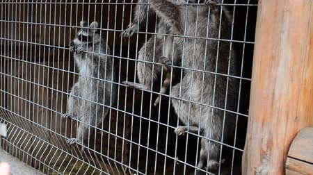 bushy : Raccoons in a zoo Stock Footage