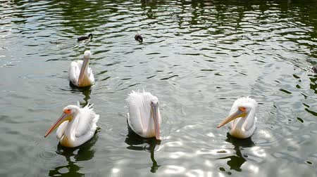 aves : Pelicans in water