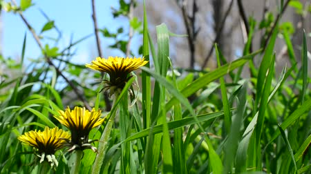 Уайлдфлауэр : Dandelions among a grass