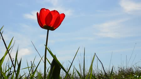 pozdravit : Tulip against the sky
