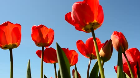 köszönt : Tulips against the sky