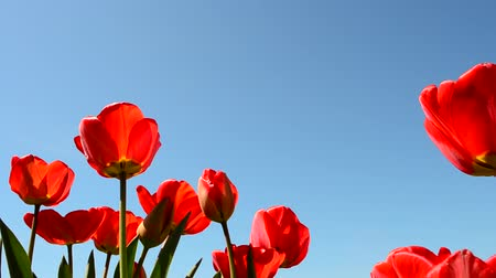 pozdravit : Tulips against the sky