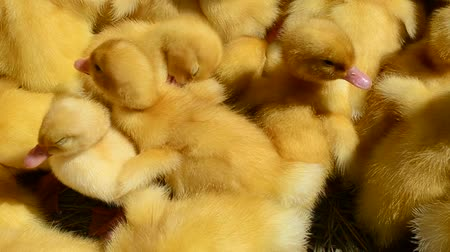 livestock sector : Little ducklings Stock Footage