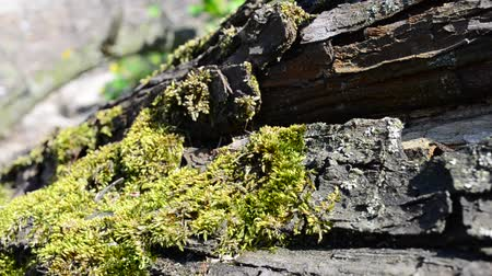 огрызок : Moss on a tree, in the spring Стоковые видеозаписи