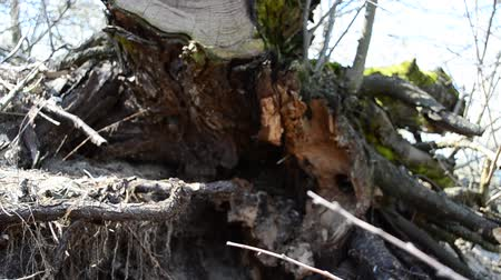 tarred : Roots of an old tree