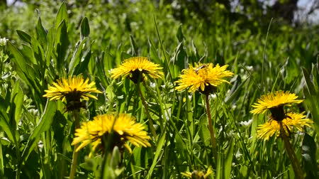 camomila : Dandelions and grass