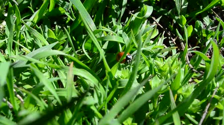 insects isolated : Ladybug in a grass Stock Footage