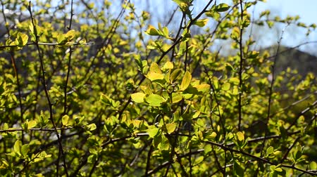 tanımlayıcı : Tree in the spring Stok Video