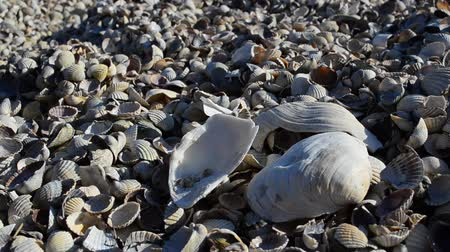 concha marina : Mar cockleshells Archivo de Video