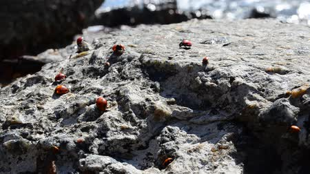 black talisman : Ladybugs on a stone Stock Footage