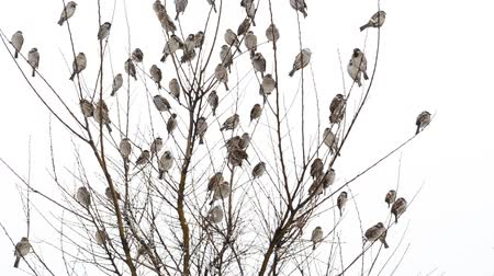 aves : Sparrows and shrubs Stock Footage