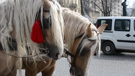 nobreza : LVIV, UKRAINE - JULY 10, 2014: Horses in the city
