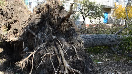 cuidado : The broken trees after a hurricane.