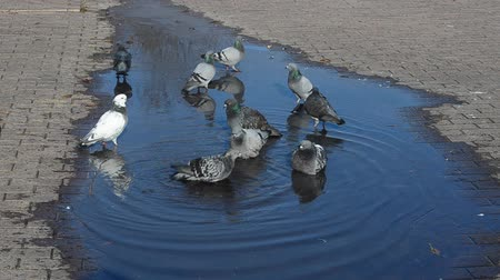 rock dove : Pigeons in water