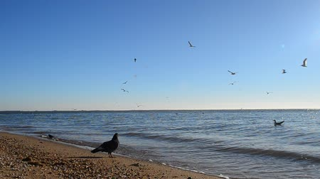 flying sea gull : Beach and seagulls. Stock Footage