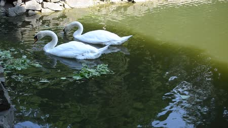fidelity : Swans in a pond