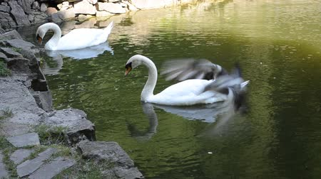 fidelity : Two swans in a pond Stock Footage